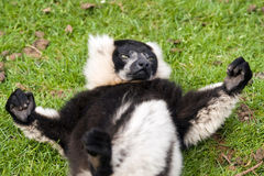 Black and White Ruffed Lemur. Close up of Black and White Ruffed Lemur(Varecia varigata varigata Stock Photography