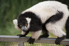 Black and white Ruffed Lemur Royalty Free Stock Image