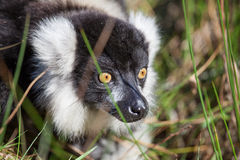 Black and white ruffed lemur. In long grass Royalty Free Stock Images