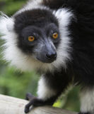 Black & White Ruffed Lemur. The Ringed-tailed Lemur is endangered due to human destruction of it's natural habitat, the rainforest Stock Photo