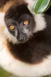 Black and White Ruffed Lemur. Wild Black and White Ruffed Lemur in Madagascar Stock Image