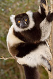 Black and White Ruffed Lemur. Wild Black and White Ruffed Lemur in Madagascar Royalty Free Stock Photos
