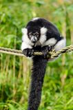 Black and white Ruffed Lemur Royalty Free Stock Photography