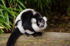 Black and white Ruffed Lemur Stock Photography