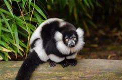 Black and white Ruffed Lemur Stock Image