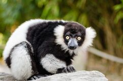 Black-and-white Ruffed Lemur Stock Photos