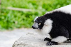 Black-and-white Ruffed Lemur Royalty Free Stock Images