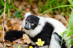 Black and white Ruffed Lemur Royalty Free Stock Images