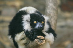 Black-and-white ruffed lemur. The adult black-and-white ruffed lemur sitting on the branch Royalty Free Stock Image