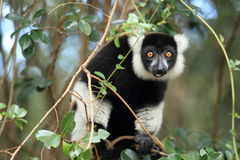 Black-and-white ruffed lemur Royalty Free Stock Image