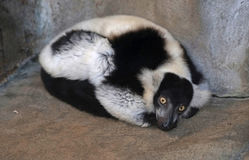 Black and white ruffed lemur. Stock Photos