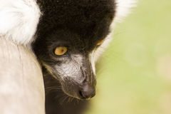 Black and white ruffed lemur in captivity Royalty Free Stock Image