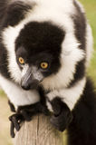 Black and white ruffed lemur in captivity Stock Images