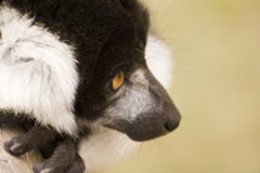 Black and white ruffed lemur in captivity Stock Photo