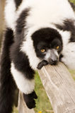 Black and white ruffed lemur in captivity Royalty Free Stock Photo