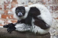 Black and White Ruffed Lemur. A Black and White Ruffed Lemur in captivity Stock Photography