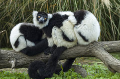 Black-and-white ruffed lemur. A group of lemurs on a tree Stock Image