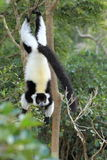 Black-and-white ruffed lemur. The black-and-white ruffed lemur hanging on to the tree Stock Photos
