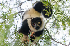 Black-and-white ruffed lemur inverted on a tree eating. Stock Photo