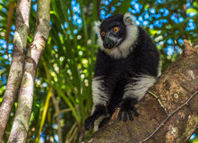 Black-and-white ruffed lemur of Madagascar Stock Photos