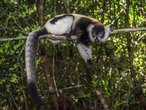 Black-and-white ruffed lemur of Madagascar Stock Photo