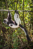 Black-and-white ruffed lemur of Madagascar Royalty Free Stock Photography