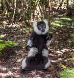 Black-and-white ruffed lemur of Madagascar Royalty Free Stock Photos