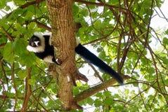 Black-and-white ruffed lemur Madagascar. Royalty Free Stock Photography