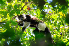 Black-and-white ruffed lemur, Madagascar wildlife Stock Image