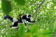 Black-and-white ruffed lemur, Madagascar wildlife Stock Images