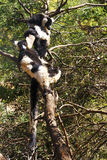 The black and white ruffed lemur Stock Photos