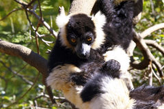 The black and white ruffed lemur Royalty Free Stock Photography
