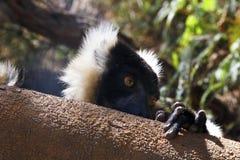 The black and white ruffed lemur Royalty Free Stock Photo
