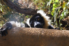 The black and white ruffed lemur Royalty Free Stock Image
