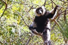The black and white ruffed lemur Stock Photo