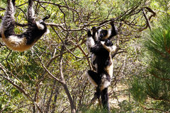 The black and white ruffed lemur Stock Image