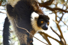 The black and white ruffed lemur Royalty Free Stock Photos