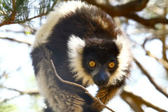 The black and white ruffed lemur Royalty Free Stock Images