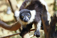 The black and white ruffed lemur Stock Images