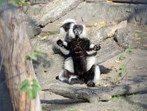 Black and White Ruffed Lemur Stock Images