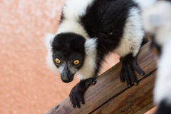Black and White Ruffed Lemur staring intensely.  stock photos