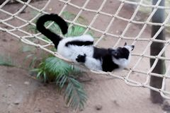 Black and White Ruffed Lemur. In Thailand royalty free stock photo