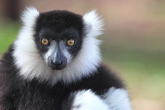 Black and white ruffed lemur Stock Images