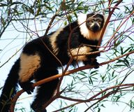 Black and White Ruffed Lemur (Varecia variegata) Stock Photography