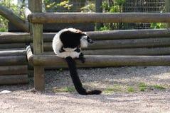 Black and White Ruffed Lemur - Varecia variegata Royalty Free Stock Photos