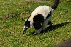 Black and White Ruffed Lemur - Varecia variegata Stock Photography