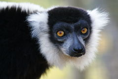 Black and White Ruffed Lemur - Varecia variegata Stock Images