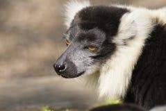 Black and White Ruffed Lemur - Varecia variegata Royalty Free Stock Photography