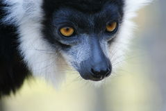 Black and White Ruffed Lemur - Varecia variegata Stock Image