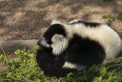 Black and White Ruffed Lemur - Varecia variegata Stock Photo